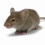 mice infestation needs controlling