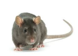 Dorking rodent removal and control