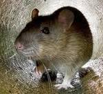 Oxted pest control removing a rat infestation