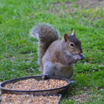 Surrey squirrel pest control